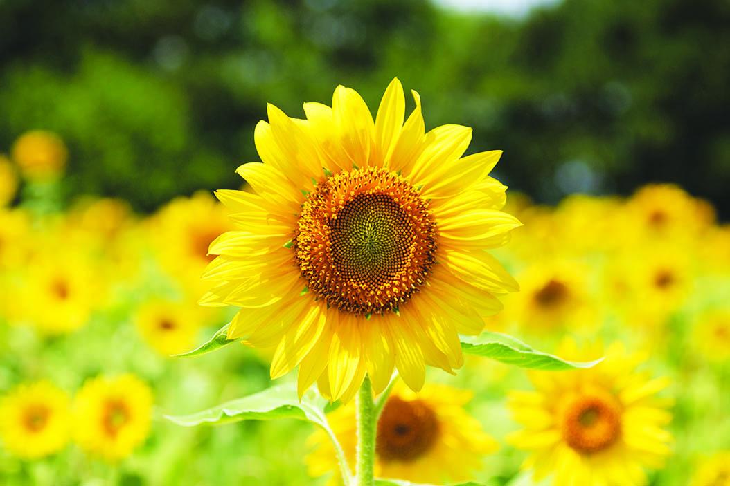 A sunflower outside Sauk Prairie Hospital.